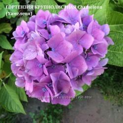 Гортензия садовая Розовая Малиновая Голубая Хамелеон