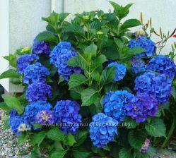 Голубая гортензия Nikko Blue