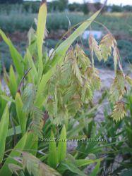 Хасмантиум Униола широколистный Chasmanthium latifolia