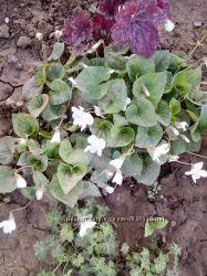 фиалка садовая белая