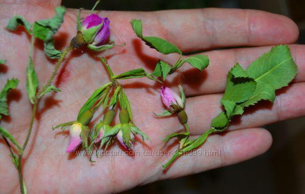 Фото 6: Сухоцвет роз поштучн