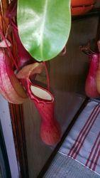 Растение-хищник Непентес