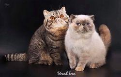 Питомник персидских и экзотических кошек Brend Iren