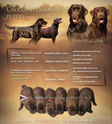 Продаются щенки лабрадора шоколадного окраса с родословной.