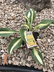 Багаторічні рослини грунтопокривні, хости, бордюрні іриси