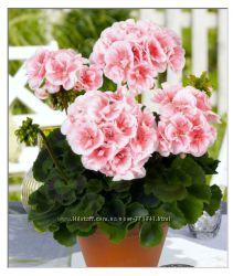 Багаторічна пеларгонія та балконі рослини