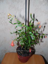 Карликовый гранат, растение и семена
