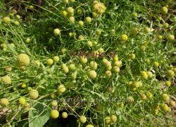 Цефалофора, земляничная трава, семена уже 2018 года, со своей дачи