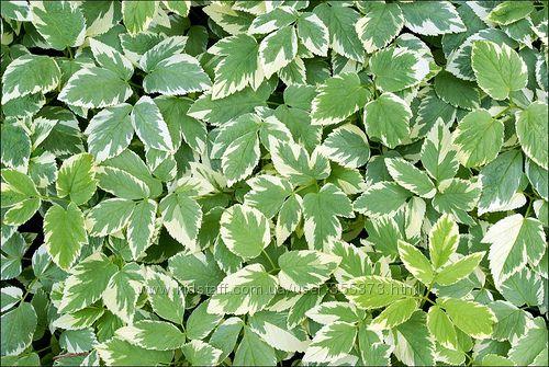 сныть пестрая растение в тени почвопокровное