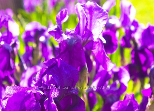 ранний фиолетовый ирис