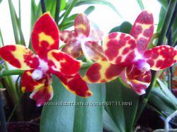 продам орхидеи цвета неизвестны