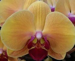 Орхидея голоден бьюти