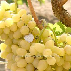 Сажанцы винограда Кеша, Настя, Кодрянка, Золото Дона, Низина