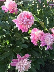 Розовые пионы из своего сада