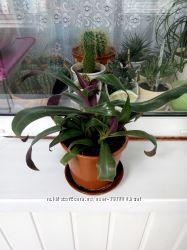 Неприхотливое растение рэо рео детки