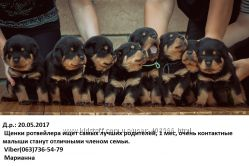 Продаются щенки ротвейлера