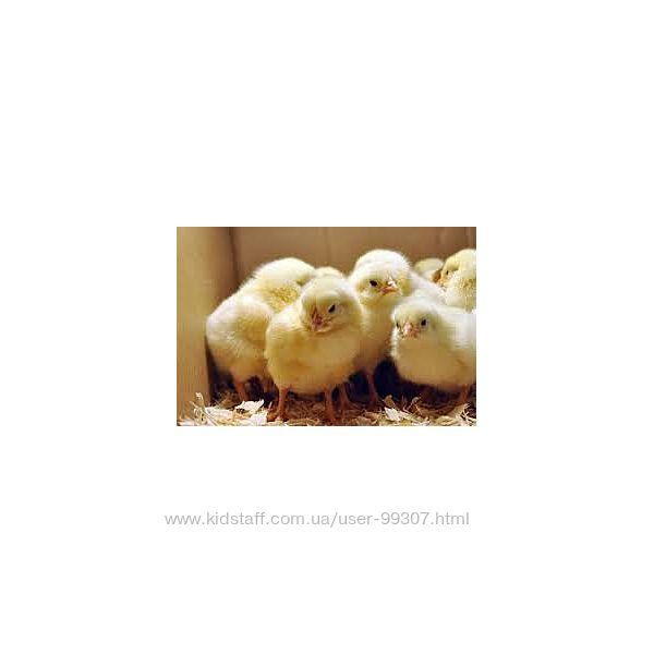 Продам цыплят Tetra H, Super-harco, красный бройлер Каменское, Елизаветовка
