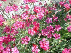 почвопокровные растения для клумб и дорожек