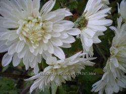 Хризантемы ранние и мультифлора