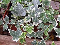 Плющ садовый, вечнозеленый, многолетний, Хедера
