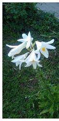 Лилия кустовая белая