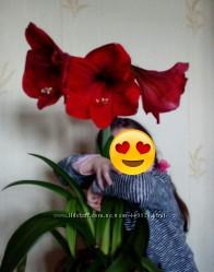 Лилия, гиппеаструм, амариллис