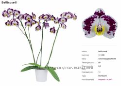 Уценка орхидеи фаленопсисы