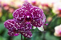 Орхидея фаленопсис. новый завоз.