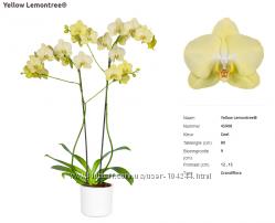 Орхидея Голландия