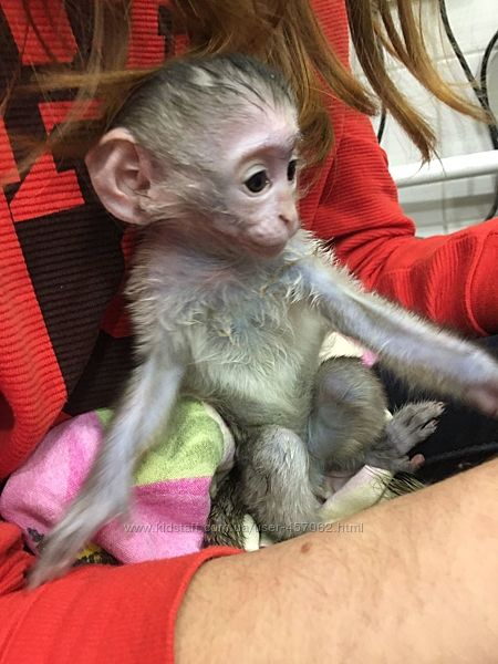 Ручная обезьянка
