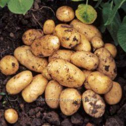 Картошка домашняя. Вкусная без химии
