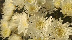 Кустики шаровидной хризантемы