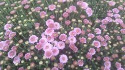 Шаровидная хризантема, кустики
