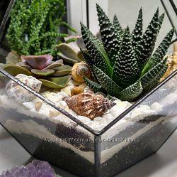 Суккулент, кактус, Хавортия полосатая