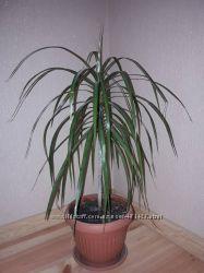 Комнатный цветок драцена, декоративная пальма