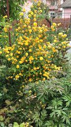 цветущие садовые кустарники, декоративнолистные
