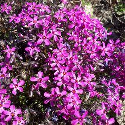 Фото 1: Пурпуреа 25 грн