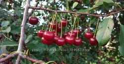 Кто хочет домашней вишни крупной вкусной без химии налетай
