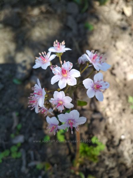дармера садовая