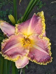 лилейники крупноцветковые