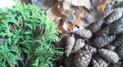 Шишки сосновые 1000 шт. , кора сосны, шишки кипариса