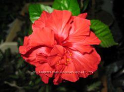 гибискус, комнатная роза