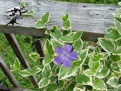 Барвинок вариегатный Vinca major variegata
