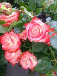 Саженцы роз, отправка сейчас