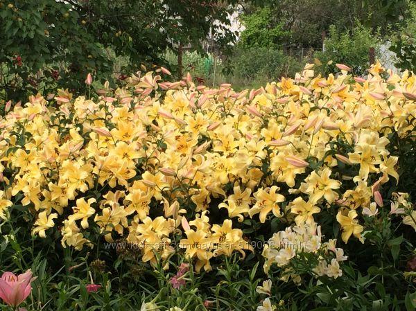 Лилии ароматные и без запаха Шампань и розовая