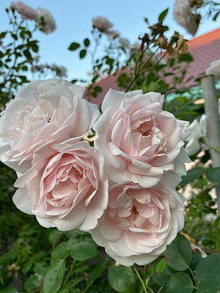 Роза вьющаяся плетистая Нью Доун повторноцветущая
