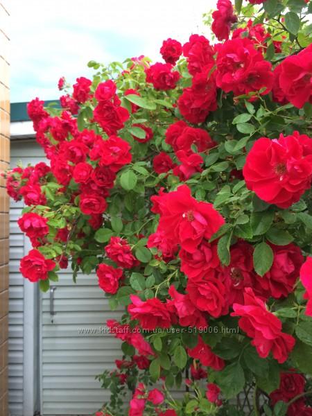 Роза вьющаяся, плетистая красная обильноцветущая