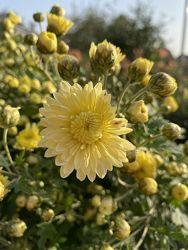 Хризантема деленки, взрослые кусты делим, разные сорта все высокие