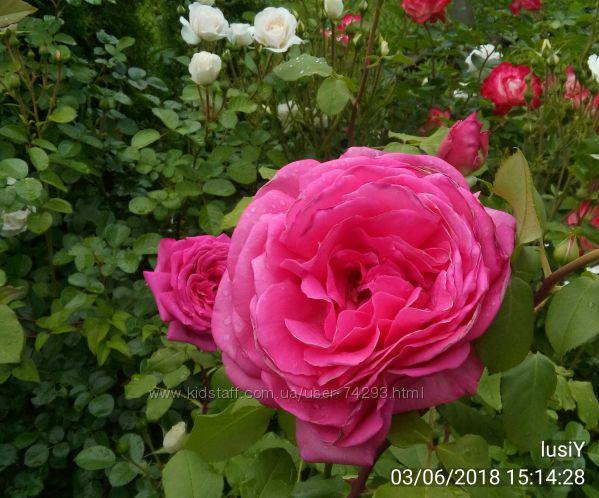 розы корнесобственные, однолетки