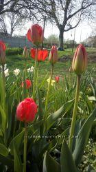 Тюльпан красный продажа цветка, луковиц